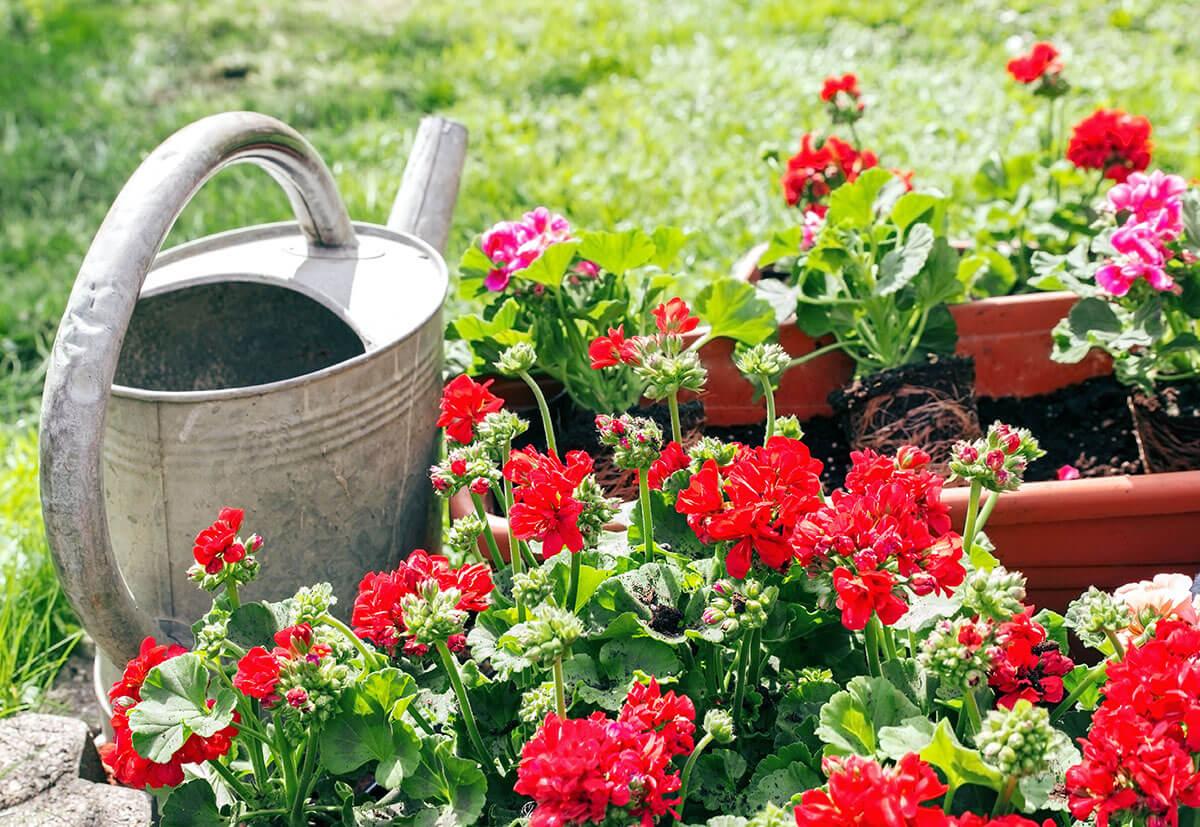 Regelmäßiges Gießen darf bei Balkonblumen ebenfalls nicht fehlen.