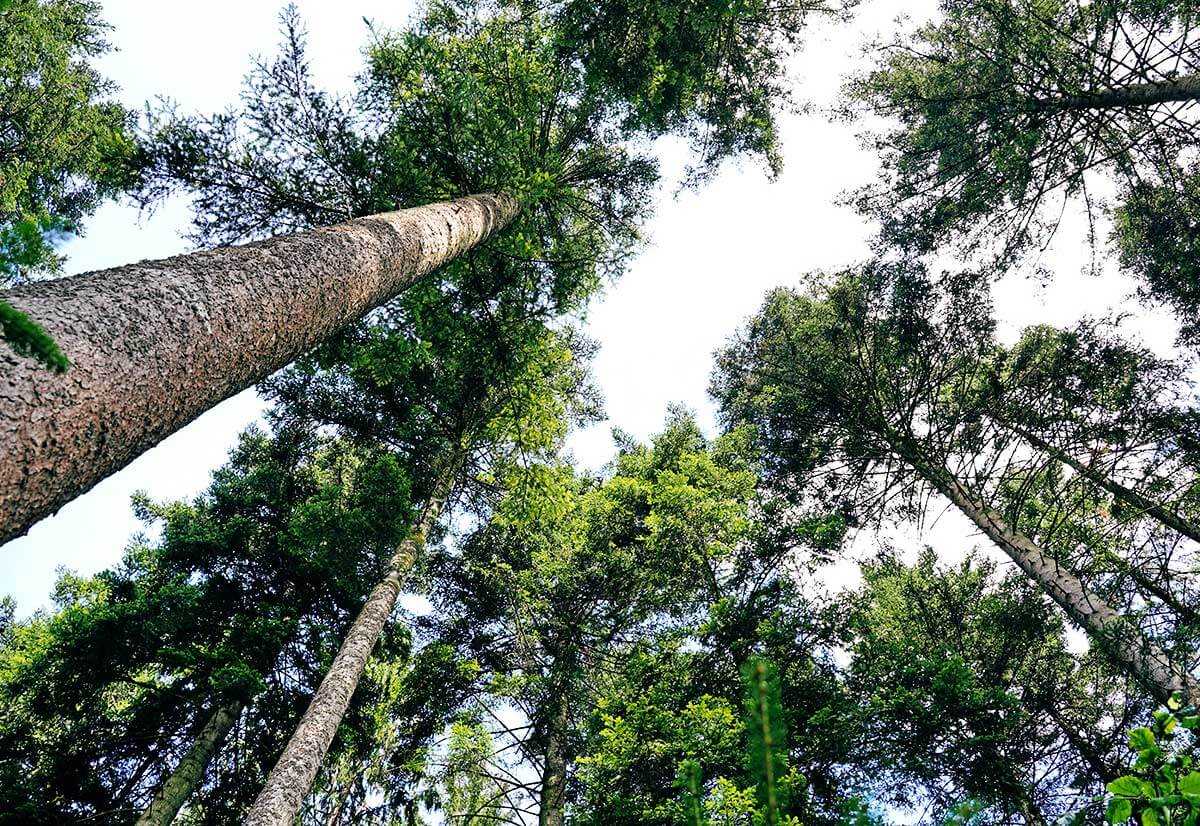 Blick von unten auf die Baumkronen in einem dicht bewaldeten Gebiet.